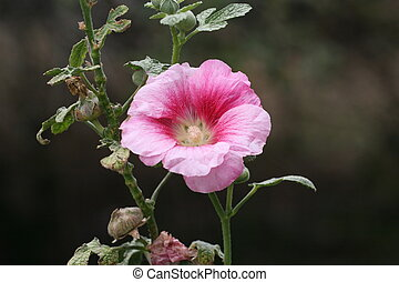 Pink Hollyhock - Old-fashioned single bloom pink Hollyhock...