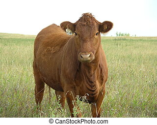 cow - a young cow in a pasture