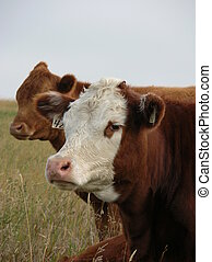 young cows - a couple of heifers