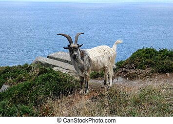 Wild Goat - Wild goat standing on a cliff on the coast od...