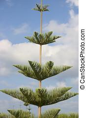 araucaria, árbol, pino