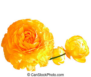 yellow poppy flowers - three full bloom yellow poppies on a...
