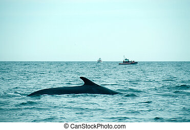 Whale watching - sperm whale in the St-Laurence