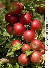 manzanas, en, Un, árbol