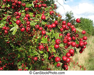 berries - loads of bright red hawthorn berries