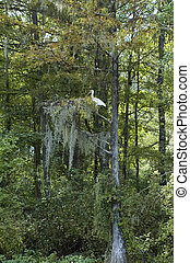 Ibis In Cypress - An ibis perches in a Spanish-moss covered...