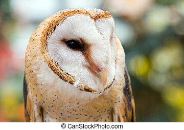 Barn Owl - Portrait of a barn owl