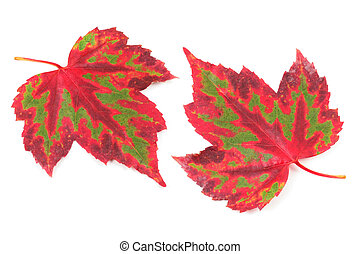 beautiful maple leaf, shoot from two angles