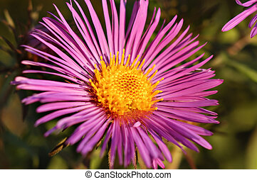 New England Aster - Full open New England...