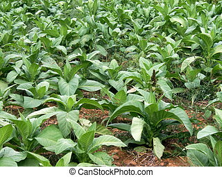 Tobacco Field in Lancaster, Pennsylvania