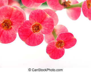 pink flower - Close-up of vibrant pink flower on white...