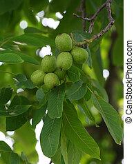Green walnut closeup