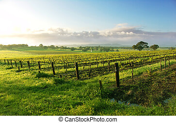 Vineyard Sunrise - Vineyard in the Barossa Valley
