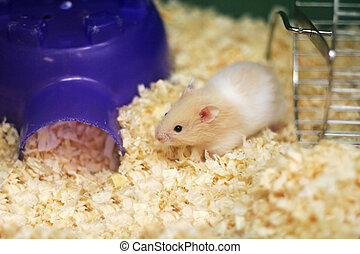 teddy bear hamster - one little teddy bear hamster