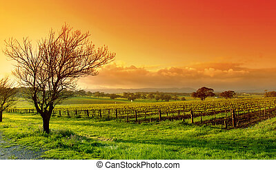 Vineyard Landscape - Fresh Vineyard Sunrise