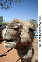 Smiling Camel - A smiling camel in the Outback of Australia