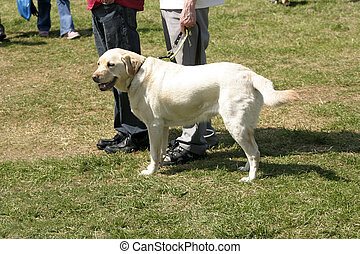 guide dog - labrador guide dog waiting patiently with its...