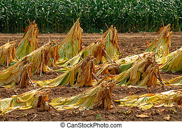 Tobacco Plants at Harvest - Brightleaf tobacco leaves tied...