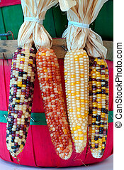 Indian Corn Harvest - Four ears of Indian corn hanging on...