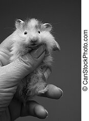 Small hamster - 6 - Small hamster in a female hand