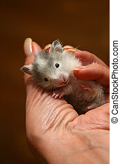 Small hamster - 5 - Small hamster in a female hand