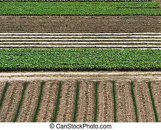 agriculture bkgrnd -  rising agricultural plants background
