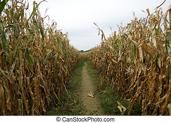 Corn Row - Photo of Cornstalks Corn Row