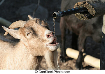 Goat - A thirsty goat