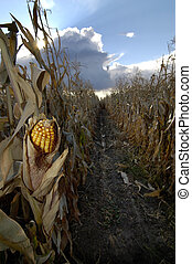 Corn in Cornfield with sky and clouds