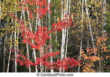 Autumn scene - Autumn birch and maple woods
