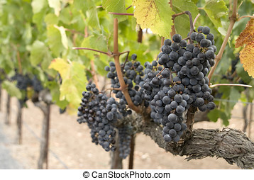 wine grapes - red wine grape clusters and vines