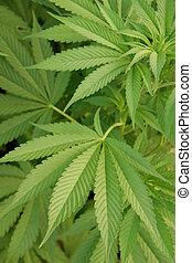 cannabis, 1