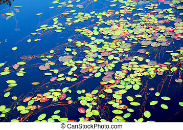 Lily pads on blue water