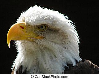 Bald Eagle - Close up Bald Eagle