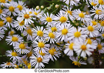 Calico Aster Group - A large group of white yellow calico...