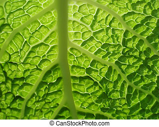 savoy cabbage - Close-up of green savoy cabbage with...