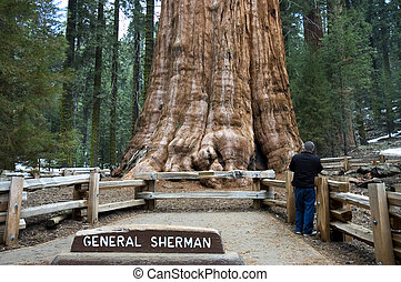 Giant Sequoia - The General Sherman Tree, world\\\'s largest...