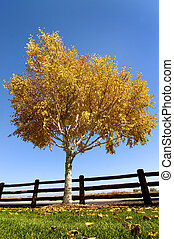 Autumn birch tree with golden colors