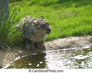 Snow Leopard by the Water - Snow Leopard by the water