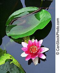 lotus flower - blossom lotus flower in japanese pond