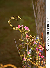 First Light - Morning Glories welcome the sunshine and send...