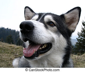 Close up of an alaskan malamute dog - A alaskan malamute dog...