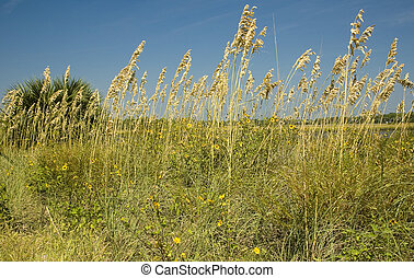 Sea Oats on Cedar Key - Sea Oats and Wildflowers on Cedar...