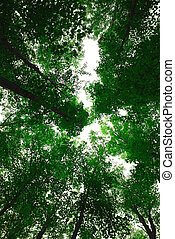 Treetops - Green tops of tall maple trees