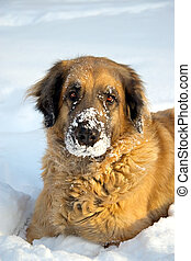 big dog playing in the snow - A big dog playing in the snow...