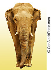 The elephant going towards with clipping path