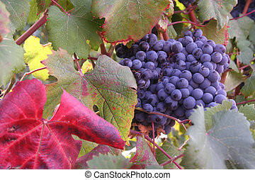 Ripe Grapes - Ripe pinot noir grape clusters ready for...