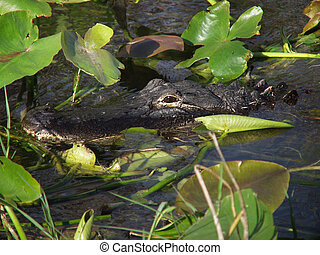 Hidden alligator - Florida Everglades