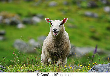 Sheep - A sheep in Norway