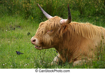 Highland cattle - scottish longhaired bull